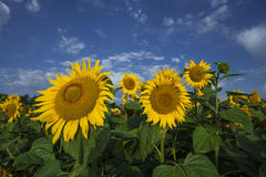 Sunflowers in the summer Royalty Free Stock Photos