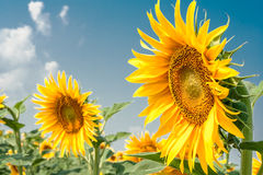 Sunflowers in the summer day. On a background of blue sky royalty free stock images