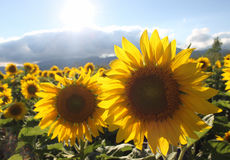 Sunflowers in the summer Royalty Free Stock Images