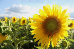 Sunflowers in the summer Royalty Free Stock Image