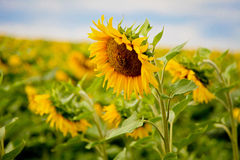 Sunflowers on summer field. Sunflower field on a hot summer Royalty Free Stock Images