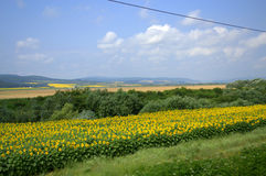 Sunflowers summer landscape Royalty Free Stock Photography