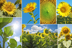 Sunflowers in summer Royalty Free Stock Image