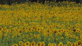 Sunflowers in summer, zoom in. stock video