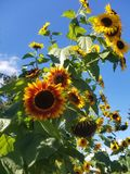 Backyard Sunflowers stock images