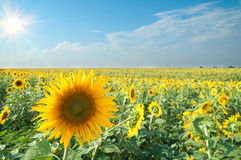 Sunflowers with sun Stock Photo