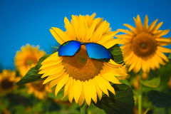 Sunflowers in sun glasses on a blue sky background Stock Photography