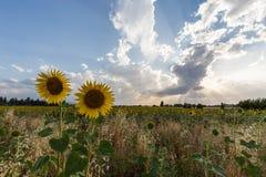 Sunflowers and sun rays Stock Image