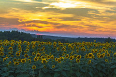 Sunflowers at Sundown. A field of sunflowers just after sundown with intense yellow, green and orange colors Stock Photos