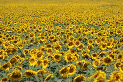 Sunflowers. Sunflower field / sunflower Royalty Free Stock Image