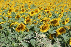 Sunflowers. Sunflower field / sunflower Royalty Free Stock Photos
