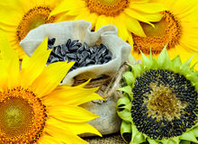 Sunflowers and sunflower seeds in bag Royalty Free Stock Images