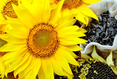 Sunflowers and sunflower seeds Stock Photos