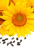 Sunflowers and sunflower seeds isolated on white background Stock Photos