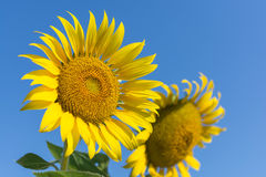 Sunflowers,Sunflowers blooming against a bright sky. Sunflowers,Sunflowers blooming ,beautiful sunflowers,big sunflowers ,Unseen Thailand flowers,yellows Royalty Free Stock Photo