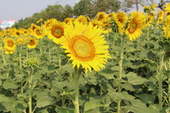 Sunflowers,Sunflowers blooming Stock Images