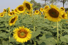 Sunflowers,Sunflowers blooming Royalty Free Stock Image