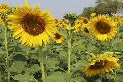 Sunflowers,Sunflowers blooming Royalty Free Stock Images