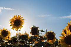 Sunflowers in a sunny afternoon Stock Images