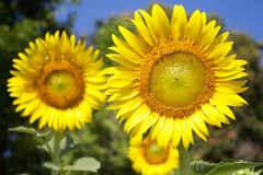 Sunflowers in sunny day Stock Photos