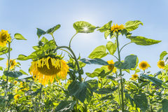 Sunflowers at a sunny summer day with sunbeam through the leaves.  Stock Photos