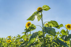 Sunflowers at a sunny summer day with sunbeam through the leaves.  Royalty Free Stock Photography