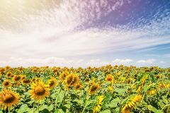 Sunflowers on a sunny sunflower field royalty free stock photography
