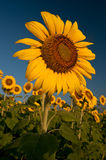 Sunflowers at Sunrise. Closeup of a sunflower bloom in field of sunflowers at sunrise Stock Images