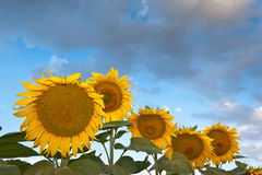Sunflowers at sunrise. Morning photo shoot in sunflower field Stock Image