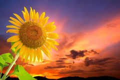 Sunflowers and sunset Stock Image