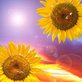 Sunflowers and sunset Royalty Free Stock Photography