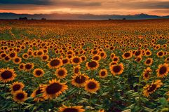 Sunflowers and sunset on Colorado plains Royalty Free Stock Image