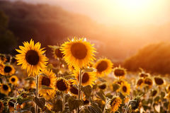 Sunflowers at sunset Royalty Free Stock Photos