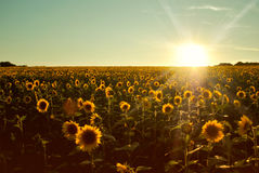 Sunflowers at Sunset Stock Image