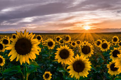 Sunflowers at Sunset. Field of sunflowers illuminated as the sun sets behind the rocky mountains in Colorado