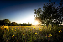 Sunflowers at Sunset Stock Photo