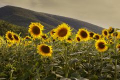 Sunflowers at sunset Royalty Free Stock Image