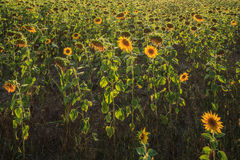 Sunflowers at Sunset Stock Photo