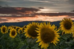 Sunflowers at the sunset. Sunflowers at the orange reddish sunset Stock Photo