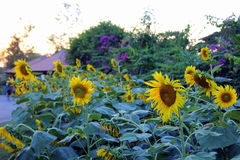 Sunflowers on the sunset in the park. Royalty Free Stock Image