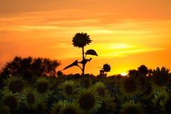 Sunflowers on a sunset. Sunflower in full bloom in field of sunflowers on a sunset Stock Photos