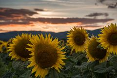 Sunflowers at the sunset. Sunflowers at the orange reddish sunset Royalty Free Stock Photo
