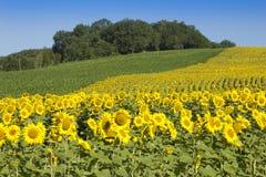Sunflowers in sunshine Stock Photography