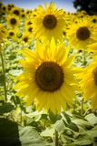 Sunflowers in sunshine Royalty Free Stock Photo