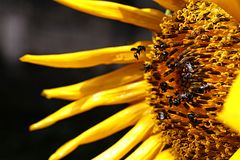 Sunflowers that are surrounded by bees because of the honey royalty free stock photos