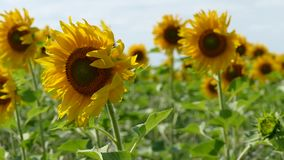 Sunflowers Swaying In The Field stock video