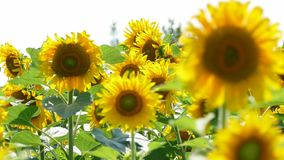 Sunflowers Swaying In The Field stock footage