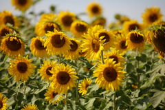 Sunflowers swaying in the wind close to Stock Photo