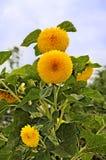 Sunflowers teddy bear Royalty Free Stock Photography
