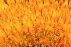 Sunflowers texture background  orange rage Royalty Free Stock Image